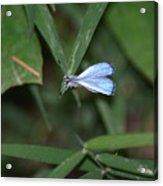 Blue Butterfly Acrylic Print