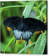 Blue Butterfly II Acrylic Print