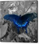 Blue Butterfly In Charcoal And Vibrant Aqua Paint Acrylic Print