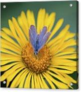 Blue Butterfly On Alpine Sunflower Acrylic Print