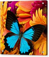 Blue Butterfly On Brightly Colored Flowers Acrylic Print by Garry Gay