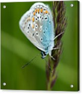 Blue Butterfly On Grass Acrylic Print