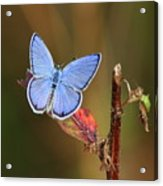 Blue Butterfly On Leaf Acrylic Print