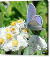 Blue Butterfly On White Flowers Acrylic Print