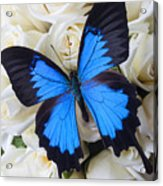 Blue Butterfly On White Roses Acrylic Print