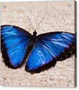 Blue Buttterfly Acrylic Print