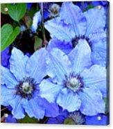 Blue Clematis Acrylic Print