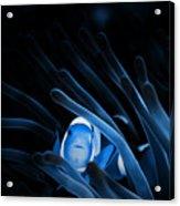 Blue Clownfish Big Size 15x11 - Beach House Art Acrylic Print