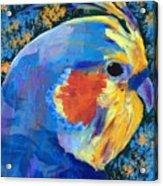 Blue Cockatiel Acrylic Print
