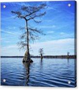 Blue Cypress Acrylic Print