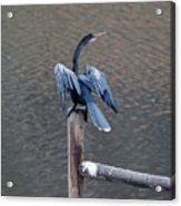 Blue Darter Acrylic Print