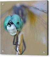 Blue Dasher Dragonfly #1 Acrylic Print