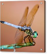 Blue Dasher Dragonfly Acrylic Print
