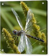 Blue Dasher Dragonfly-female Acrylic Print