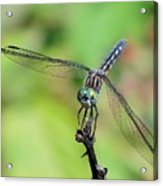 Blue Dasher Dragonfly On A Branch Acrylic Print