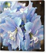 Blue Delphinium Acrylic Print