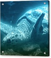 Blue Depths Sea Turtle Acrylic Print