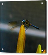 Blue Dhasher Dragonfly Acrylic Print