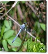 Blue Dragon Fly  Acrylic Print