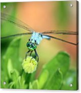 Blue Dragonfly And Bud Acrylic Print
