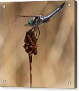 Blue Dragonfly On Brown Reed Acrylic Print