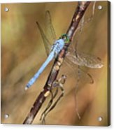 Blue Dragonfly Portrait Acrylic Print