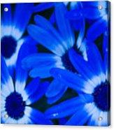 Blue Daisies, Medford Oregon Acrylic Print