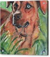 Blue Eyed Dog Acrylic Print