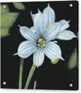Blue Eyed Grass - 2 Acrylic Print