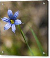 Blue-eyed Grass II Acrylic Print