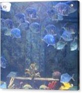 Blue Fish Acrylic Print