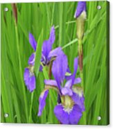 Blue Flag Iris-1  Acrylic Print