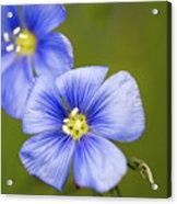 Blue Flax #2 Acrylic Print