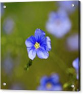 Blue Flax #4 Acrylic Print