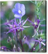 Blue Flax Wildflower With Purple Allium In Foreground Acrylic Print
