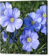 Blue Flowers In The Sun Acrylic Print