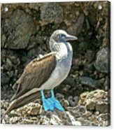Blue Footed Boobie Acrylic Print
