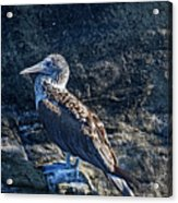 Blue-footed Booby Prize Acrylic Print