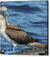 Blue-footed Booby  Puerto Egas James Bay Santiago James Island Galapagos Islands Acrylic Print