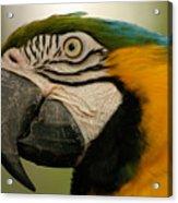 Blue Gold Macaw South America Acrylic Print