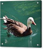 Blue Goose-3 Acrylic Print