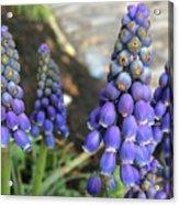 Blue Grape Hyacinths Acrylic Print