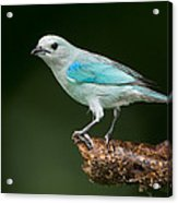 Blue-gray Tanager Thraupis Episcopus Acrylic Print