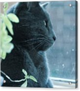 Blue Grey Contemplating Cat Acrylic Print