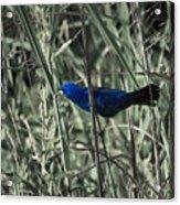 Blue Grosbeak At Rest Acrylic Print