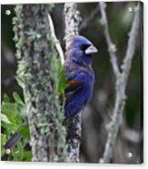 Blue Grosbeak In A Mangrove Acrylic Print