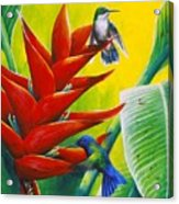 Blue-headed Hummingbirds And Heliconia Acrylic Print