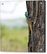 Blue-headed Tree Agama Acrylic Print