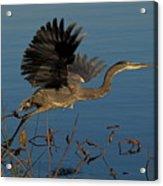 Blue Heron 2 Acrylic Print
