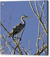 Blue Heron 22 Acrylic Print by Roger Snyder
